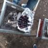 ブドウ焼き
